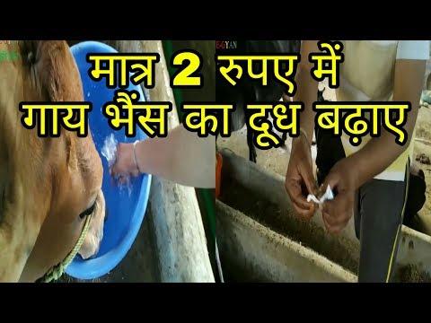 गाय भैंस का दूध बढायें मात्र 2 रु में / how to increase cow and buffalo milk