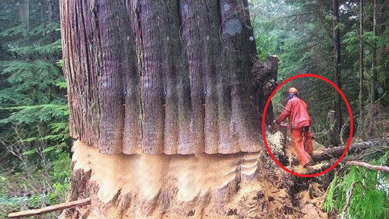 Extreme Dangerous Huge Trees Felling Skill Climbing With Chainsaw Machines Tree Cutting Down Skill