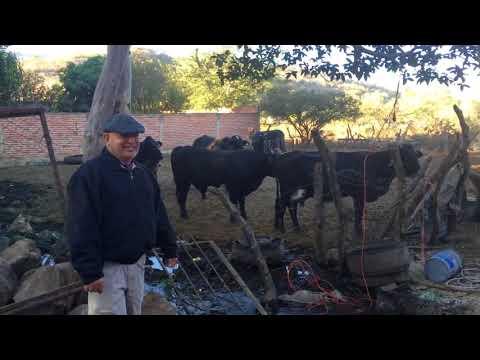 Cítala Cows