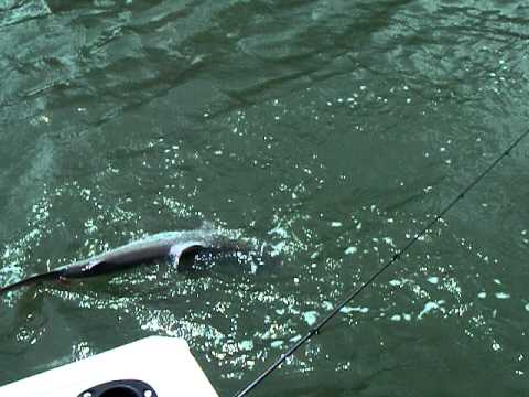 Bull Shark - Brisbane River Mouth