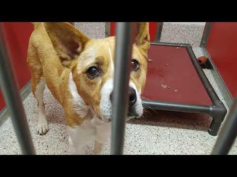 Pima Animal Care Center 5-3-18 Doggie Adoptable - Summer 10 Year Old Female AnimalNumber245841
