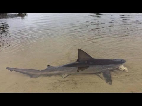 Bull Shark in Florida River Caught on a Drone!