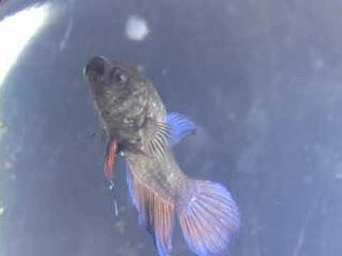 Part1: Betta Fish SICK with VELVET and COLUMNARIS