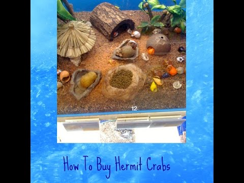 What hermit crabs to buy at the pet store