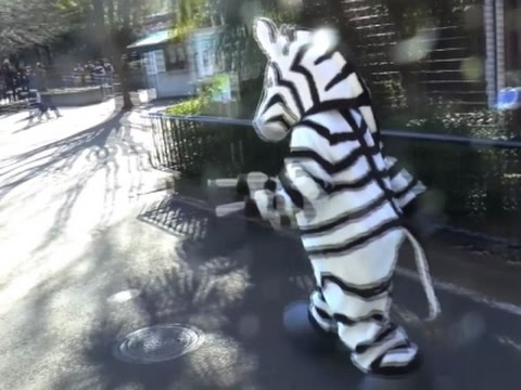 Raw: Japan Zoo Holds Escaped Zebra Drill