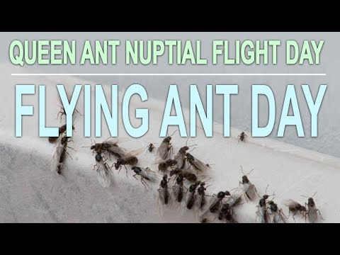 Flying Ant Day | Queen Ant Nuptial Flights UK