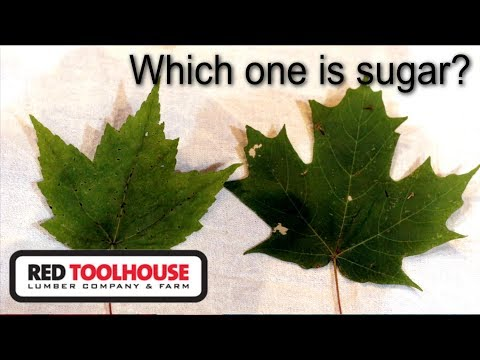EP50: Identifying your sugar maple trees