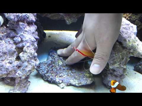 Scarlet Skunk Shrimp cleaning my hand