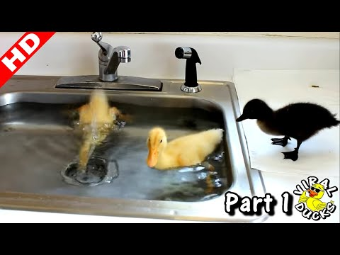 Baby Ducks Diving In The Sink LMAO! p1