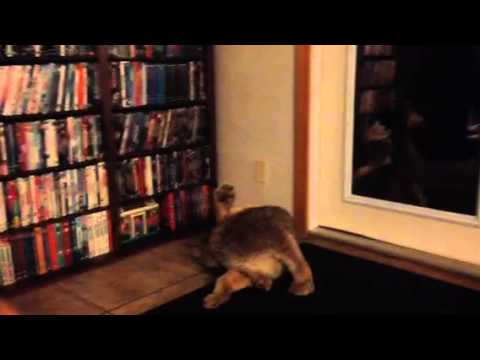 Pet Canadian lynx Isis in the house