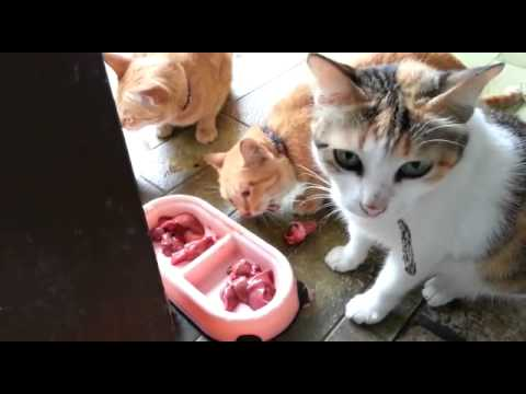 Cats eating raw chicken liver and heart