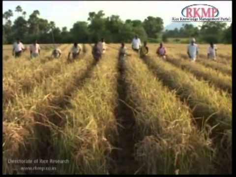 Hybrid Rice Seed Production Technology in hindi.mp4