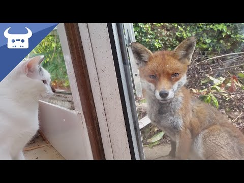 Me and my cats meet a wild fox. Real life Disney moment!