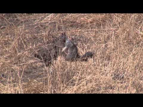 California Ground Squirrel Warning Call