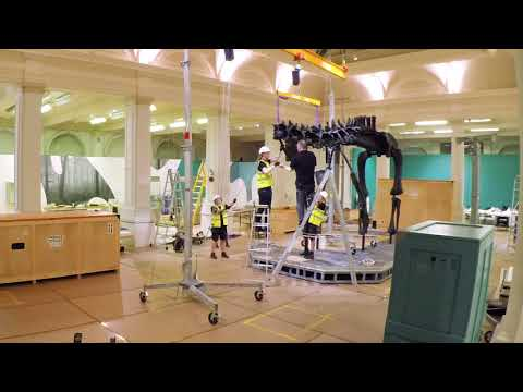 Putting together Dippy the Diplodocus at Birmingham Museum and Art Gallery