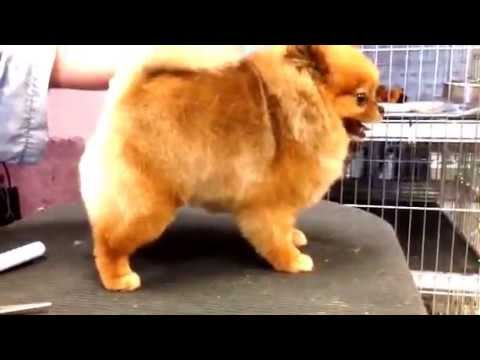 Blended Haircut for a Pomeranian