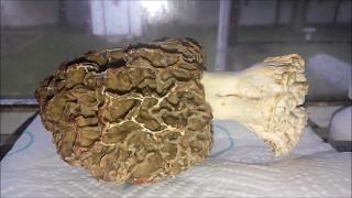 Cooking With Mechaghostman2 - Morel Mushrooms