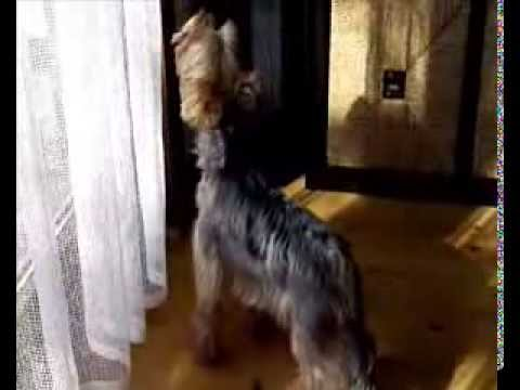 Funny dog howls like a wolf lost his voice