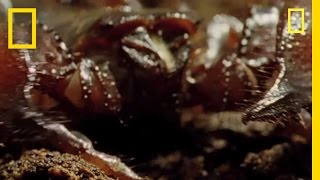 Download World's Deadliest Scorpion? | National Geographic Video