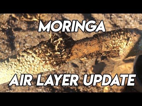 Ep158 - Moringa Air Layer Update