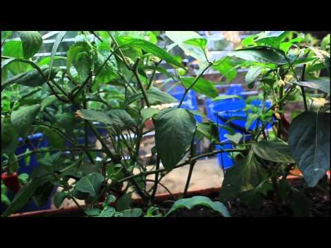 Update Red Banana Pepper Dec 10/2011