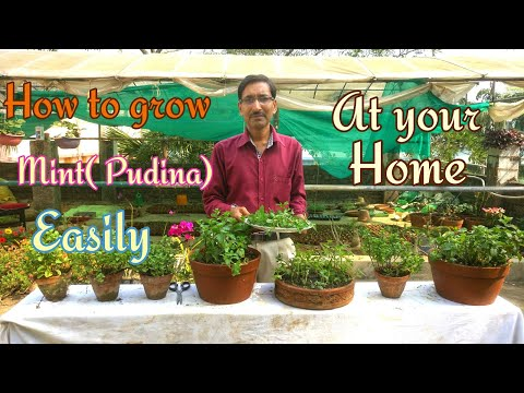 How to Grow  Mint ( PUDINA) at Home Easily.