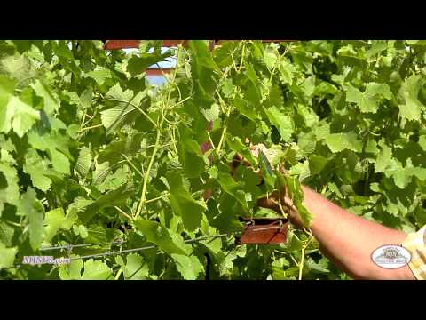 The importance of starting your vineyard with a strong, stable Trellis System