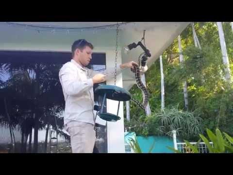 Carpet Python removal by Sunshine Coast Snake Catcher