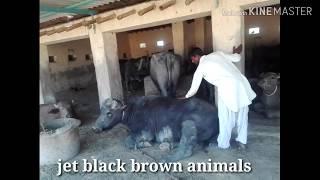 Talhar Mal mandi cattle markit   Kundhi Buffalow rates