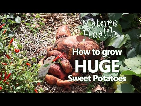 How to grow abundant organic sweet potatoes in your own home garden