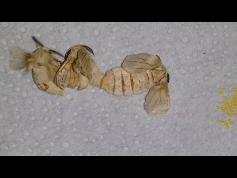 Silkworm mating and laying eggs