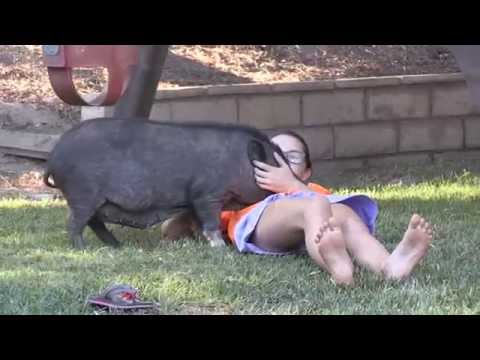 Mini Potbellied Pig Miniature Potbelly Pigs are playful pets fun funny amazing