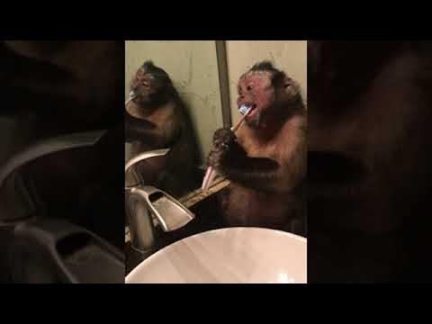 Pet Monkey Wants Clean Teeth || ViralHog