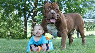 Funny Pitbull and Baby Videos Compilation (2017)