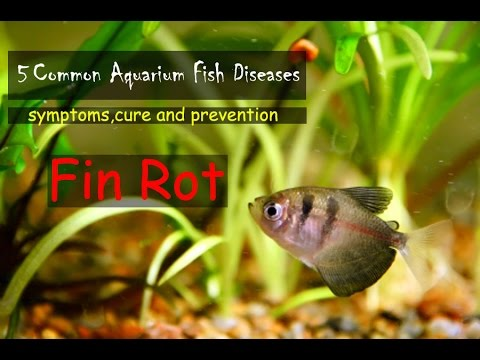 Common Aquarium Fish Diseases Part-1 (Fin Rot)