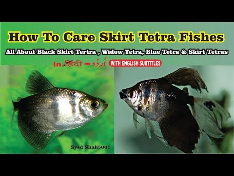 Black Tetra Fish Care, Food, Tank Mates & Size Black Skirt Tetra Care Guide
