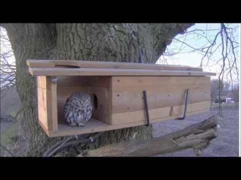 Little Owls nest box visit 6:22pm 3-11-2015