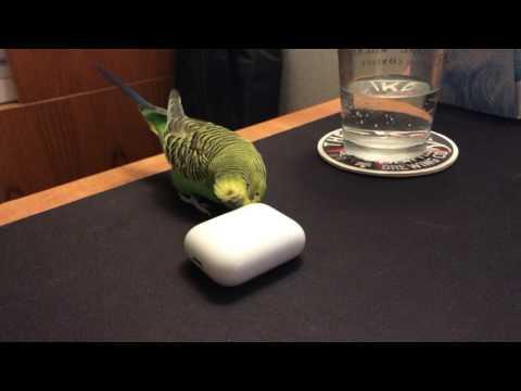 Kiwi the Parakeet talks to Apple AirPods.