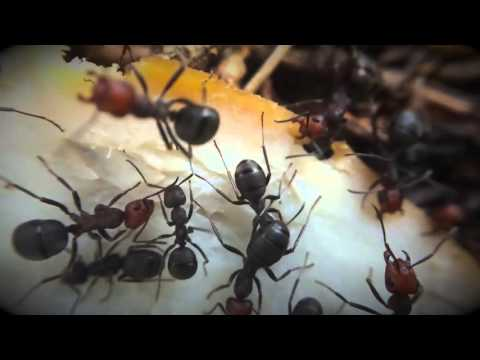 CRAZY Ants vs. Deli Meat