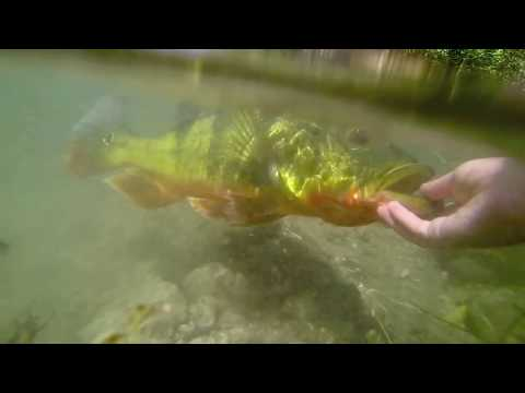 MONSTER SOUTH FLORIDA PEACOCK BASS