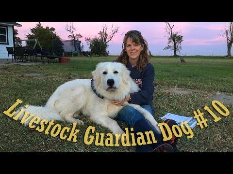 Livestock Guardian Dog Series - Video #10 -