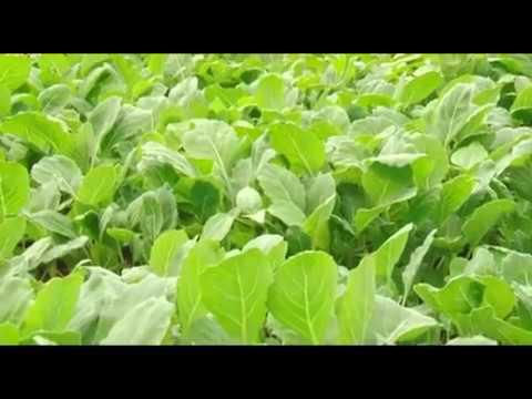Mbinu Za Kilimo (Kiswahili)  Cabbage Farming Eps 2