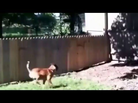 MAN PROUDLY FILMS THE FENCE HE BUILD TO KEEP HIS DOG IN THE YARD  WAIT FOR IT