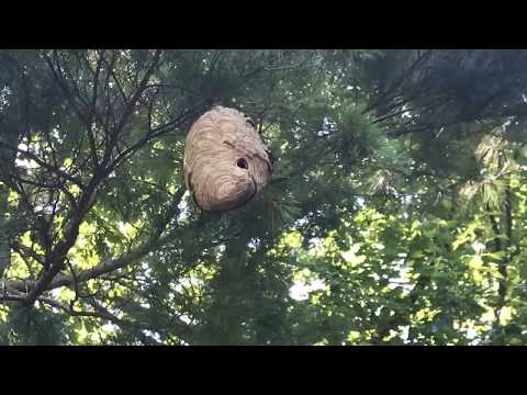 Hornets nest the size of a basketball