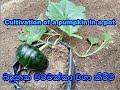 Download  බදුන්ගත වට්ටක්කා වගාව Cultivated Pumpkin Cultivation MP3,3GP,MP4