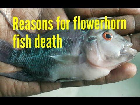 Reasons for flowerhorn fish death