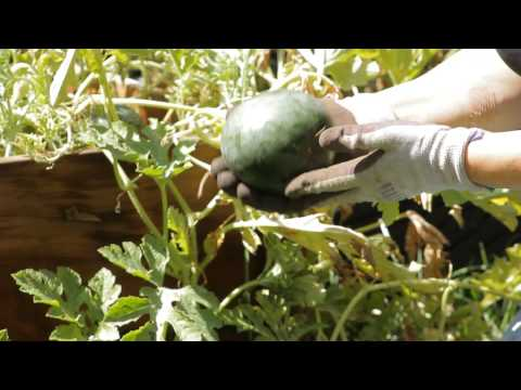 How to Know When a Watermelon Is Ready to Pick : Garden Space