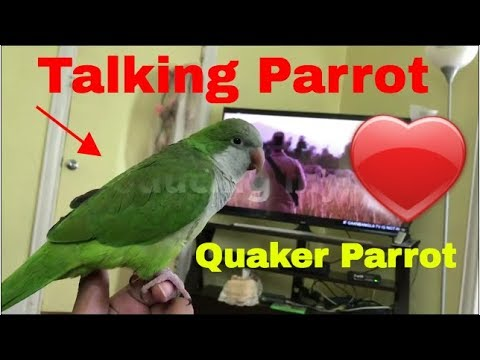 Parrot talking || Quaker parrot daily life.