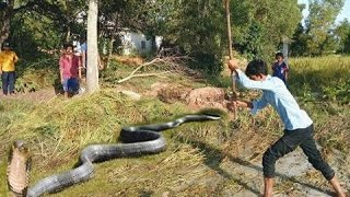 Amazing Catch Snake With Bare Hand - How to Catch Snake in Cambodia