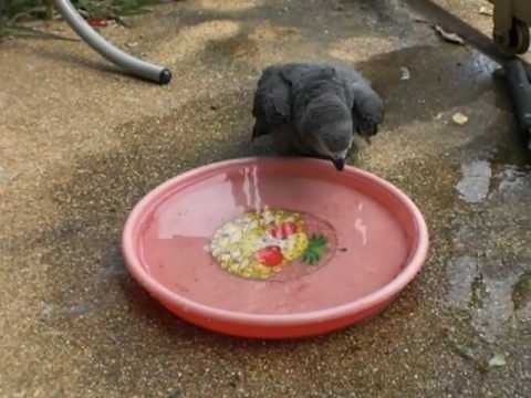 African Grey baby trying to bath for the1st time.